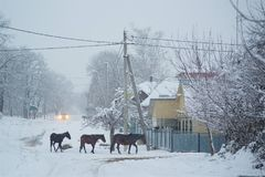Horses in the snow in the village. In the winter cold days Royalty Free Stock Photo