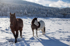 Horses in the snow. At winter Stock Photo