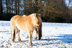 Horse on winter pasture Royalty Free Stock Image