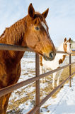 Horses in Snowy Coral Stock Image