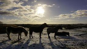 Horses in a snowy landscape Royalty Free Stock Photography