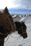 Horses in the snowy mountains. The heads of the horses Stock Images