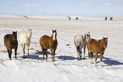 Horses in snowy pasture. Stock Images