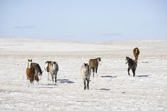 Horses in snowy pasture. Royalty Free Stock Image