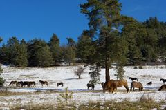 Horses in snowy rolling meadow Royalty Free Stock Photo