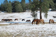 Horses in snowy rolling meadow Stock Photos