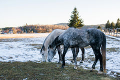 Horses in snowy rolling meadow with rail fence and snow on the t Royalty Free Stock Image