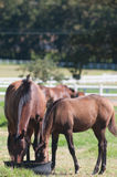 Horses, South Africa Royalty Free Stock Photo