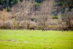 Horses on a spring pasture Royalty Free Stock Photography