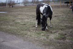 Horses on a spring walk in the field. Tribal spotted horse on a spring walk in the field stock photos