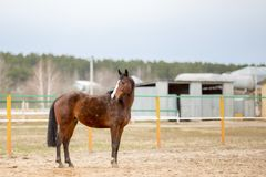 Horses on a spring walk in the field. Tribal spotted horse on a spring walk in the field stock photography