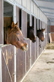 Horses in stable. Horses in relax looking out of the stable Stock Photography