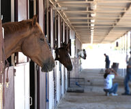 Horses in a stable. Horses standing in their stalls Royalty Free Stock Photo