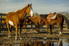 Horses_in_stable obrazy royalty free