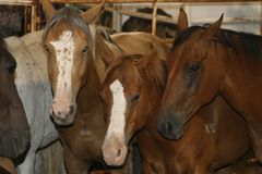 Horses in stable. Rodeo stock horses in a stable royalty free stock photos
