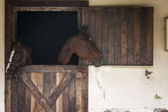 Horses in a stable, looking out Stock Images