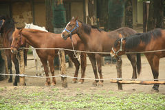Horses in stable. Horses is standing in stable Royalty Free Stock Images