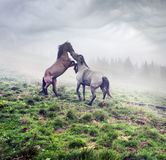 Horses, stallions in the fog Royalty Free Stock Photo