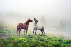 Horses, stallions in the fog Stock Photo