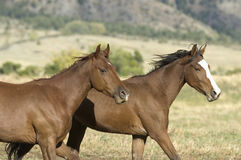 Horses stampede. Two young colts running to avoid roundup Royalty Free Stock Images