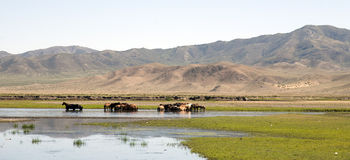Horses Stand in a River Royalty Free Stock Images