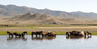 Horses Stand in a River Royalty Free Stock Photography