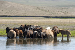 Horses Stand in a River Royalty Free Stock Image