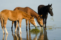 Horses standing in lake Stock Photography