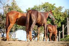 Horses standing in the paddock against electric fence Royalty Free Stock Images