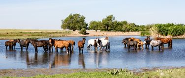 Horses standing in pond royalty free stock photos
