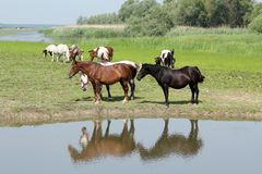 Horses standing on river Royalty Free Stock Photos