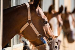 Horses standing in stable. Brown horses with muzzle standing in stable Stock Photo