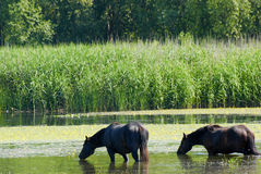 Horses standing in water Stock Image