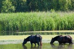 Horses standing in water Stock Image