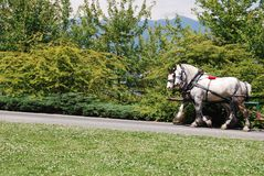 Horses at Stanley Park. In Vancouver, Canada royalty free stock photo