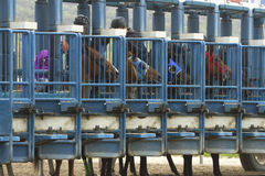 Horses in starting gate Stock Photography