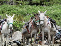 Horses Stealing a moment together. Uo 15200 feet in Himalayas, these horses carry pilgrims up 6 kilometer at 70 degree incline to Hemkunt Sahib, Sikh pilgrimage Stock Images