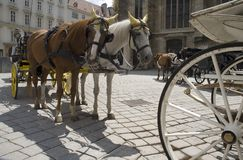 Horses on the Stephanplatz, Vienna Royalty Free Stock Photo