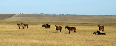 Horses at steppe Royalty Free Stock Photo