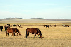 Horses at steppe Stock Photos