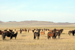 Horses at steppe Stock Images
