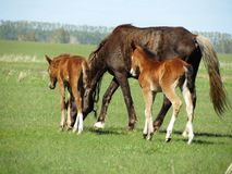 Horses in the steppe. House horses are grazed in the spring steppe Royalty Free Stock Photo