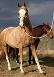 Horses and storm. Two horses under the storm Royalty Free Stock Image