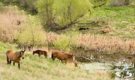 Horses by stream. Quarter horses grazing alongside a stream Royalty Free Stock Images