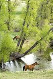 Horses by stream Royalty Free Stock Image