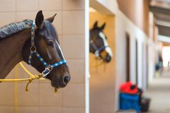 Horses in Stud Boxes Stock Images