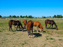 Horses in Stud Farm Royalty Free Stock Images