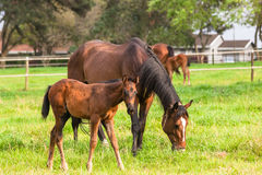 Horses Stud Farm Royalty Free Stock Images