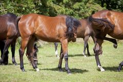 Horses are stung by insects. Brown horses on a summer pasture are stung by brakes and flies Stock Image