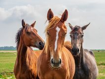 Horses suffer from the flies on their heads. Curious horses are standing in the meadow and are troubled by the flies on their heads in Friesland, in the north of royalty free stock image